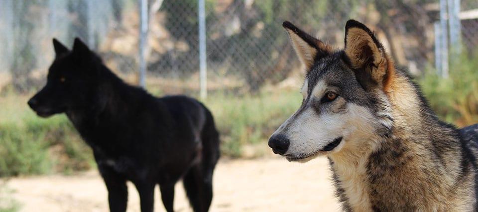Spotlight: Lobo and Flicker