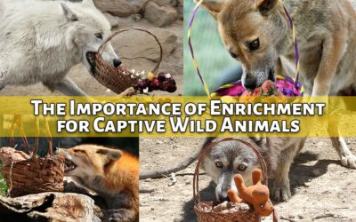 The Importance of Enrichment for Captive Wild Animals