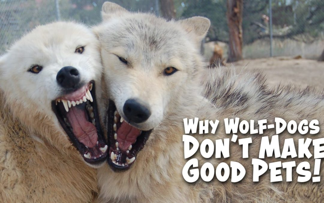Why Wolf-Dogs Don't Make Good Pets!