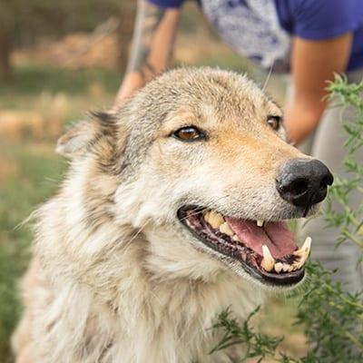 Kaya - High-Content Wolf-Dog